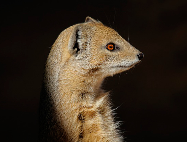 gef-the-mongoose
